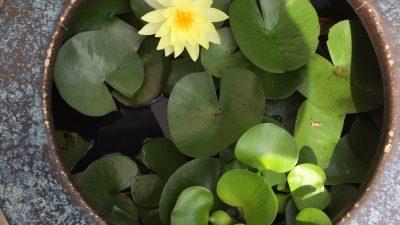 咲きました。この夏2つ目のスイレン?の花 そしてわが社の看板ワンコ2号は・・・